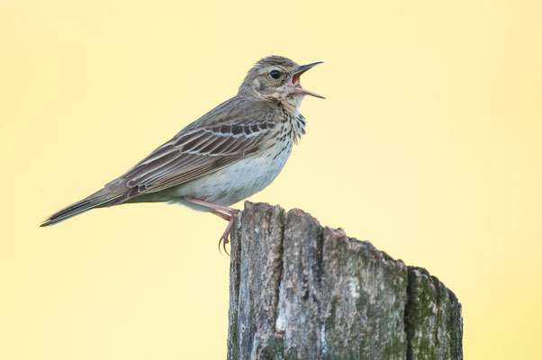 Baumpieper - Anthus trivialis - tree pipit
