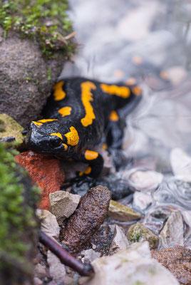 Feuersalamander - Salamandra salamandra - fire salamander