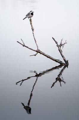 Bachstelze - Motacilla alba - white wagtail