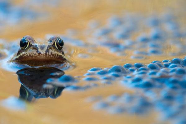 Grasfrosch - Rana temporaria - common frog