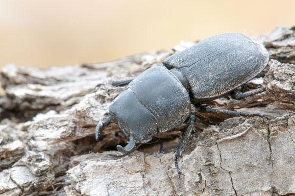 Balkenschröter - Dorcus parallelipipedus - lesser stag beetle