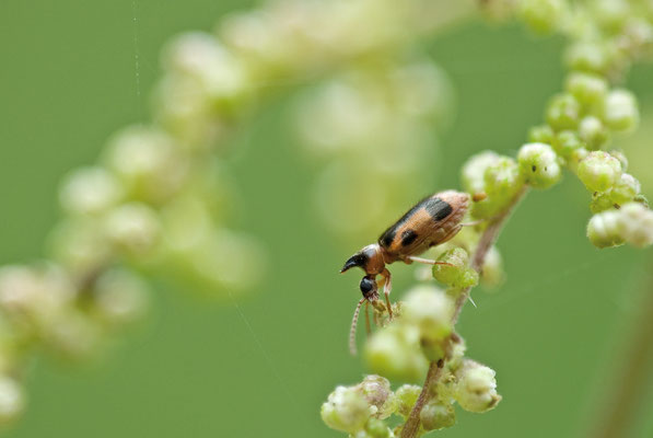 Gemeiner Einhornkäfer - Notoxus monoceros - unicorn beetle