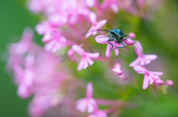 Agapanthia violacea