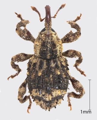 Trachodes hispidus (L., 1758)   Schuppiger Totholzrüssler