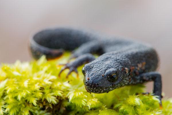 Nördliche Kammmolch - Triturus cristatus - Northern crested newt