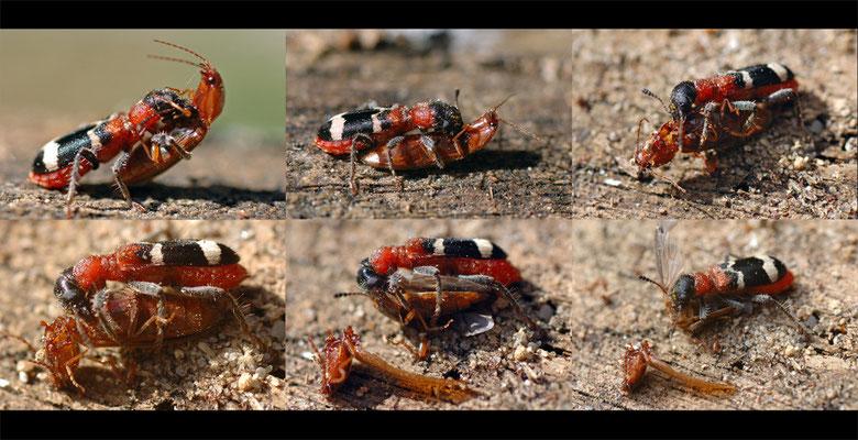 Ameisenbuntkäfer (Thanasimus formicarius) frisst einen Schnellkäfer (Athous sp. cf.)