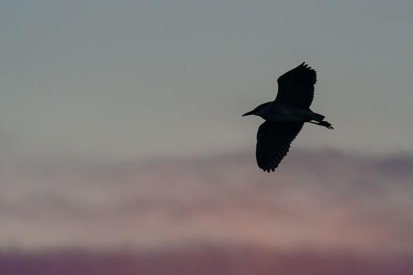 Nachtreiher - Nycticorax nycticorax- black-crowned night heron