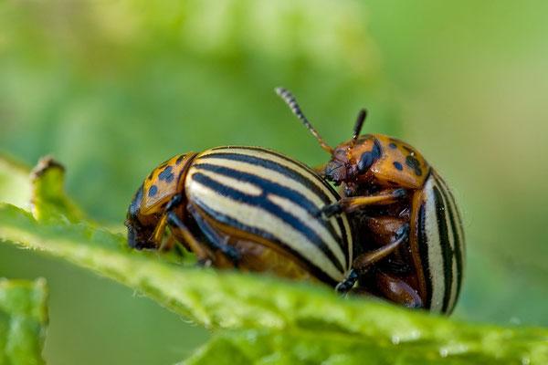 Kartoffelkäfer - Leptinotarsa decemlineata -  Colorado potato beetle