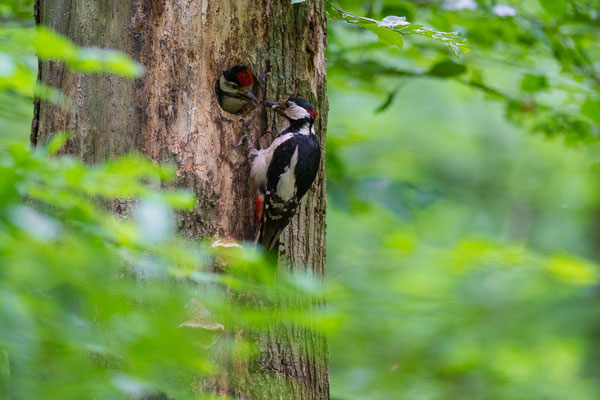 Buntspecht - Dendrocopos major - great spotted woodpecker