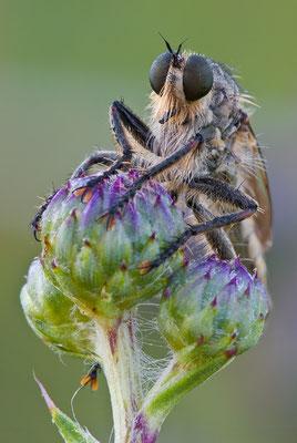 Schlichte Raubfliege - Machimus rusticus - Downland Robberfly