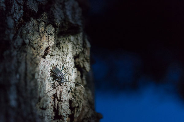 Großer Eichenheldbock - Cerambyx cerdo - great capricorn beetle