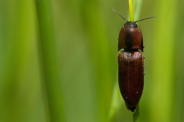 Brauner Schnellkäfer - Sericus brunneus