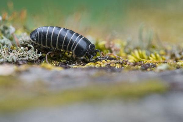 Gerandeter Saftkugler - Glomeris marginata - a pill millipede