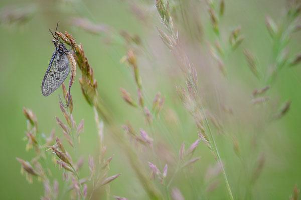 Eintagsfliegen - Ephemeroptera - Mayfly