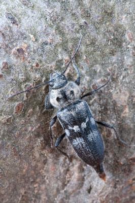 Hausbock - Hylotrupes bajulus - house longhorn beetle