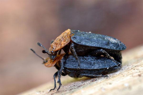 Rothalsige Silphe - Oiceoptoma thoracicum