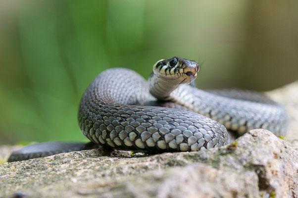 Ringelnatter - Natrix natrix - grass snake