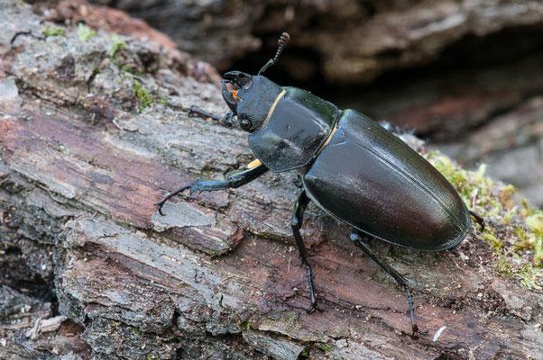 Hirschkäfer - Lucanus cervus - stag beetle