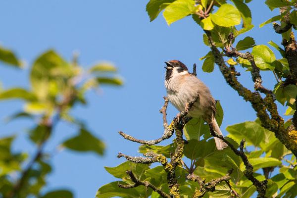 Feldsperling - Passer montanus - Eurasian tree sparrow