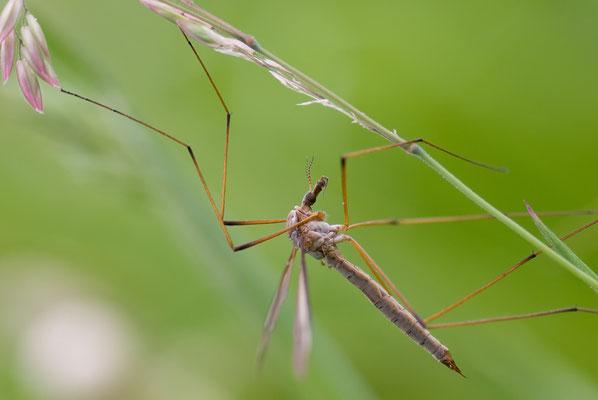 Schnacke - Tipulidae