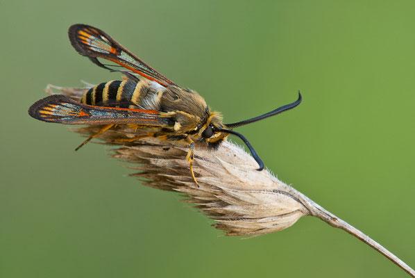 Hornklee-Glasflügler - Bembecia ichneumoniformis -  Six-belted Clearwing