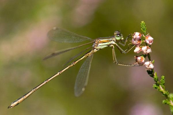 Südliche Binsenjungfer - Lestes barbarus - southern emerald damselfly