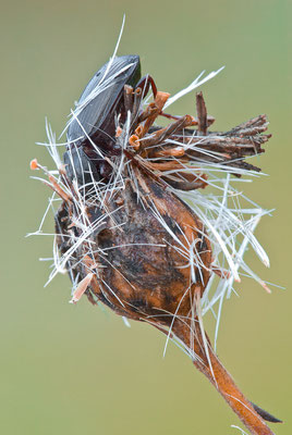 Glänzender Kanalkäfer - Amara aulica - lustrous sun beetle