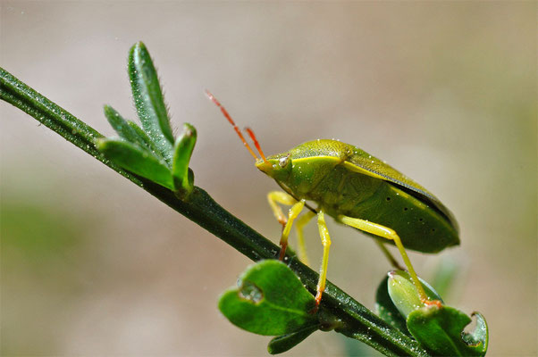 Ginsterwanze - Pizedorus lituratus - Gorse Shield Bug