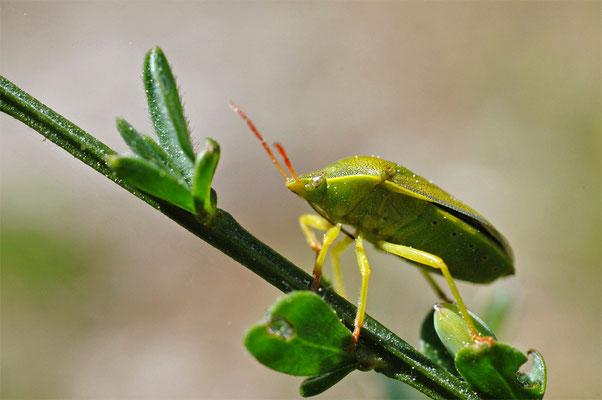 Ginsterwanze - Pizedorus lituratus - Gorse Shield Bug