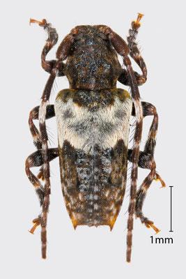 Pogonocherus hispidus (L., 1758)   Dorniger Wimperbock