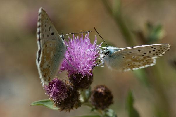 Silbergrüner Bläuling - Polyommatus coridon - chalkhill blue
