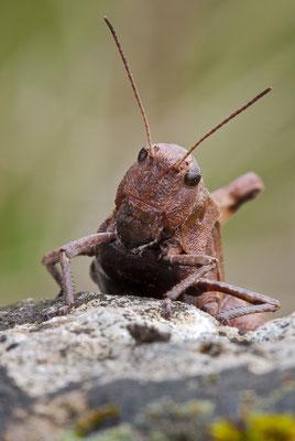 Rotflüglige Schnarrschrecke - Psophus stridulus - rattle grasshopper