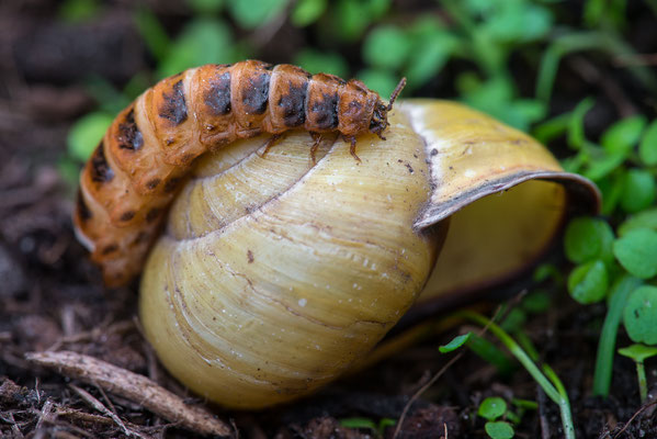 Schneckenhauskäfer Weibchen - Drilus flavescens - false firefly beetles female