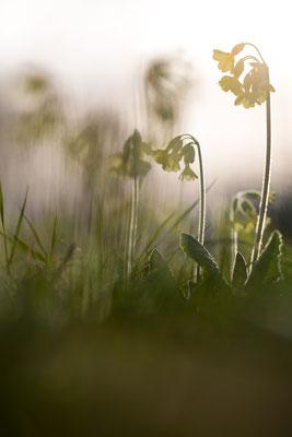 Hohe Schlüsselbume - Primula elatior - true oxlip