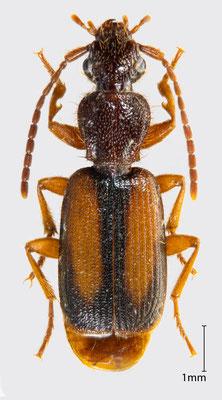 Polistichus connexus (Geoffroy, 1785)| Natterläufer