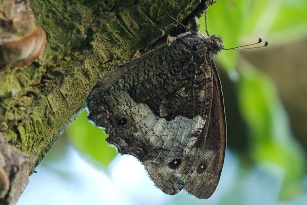 Großer Waldportier - Hipparchia fagi - Woodland Grayling