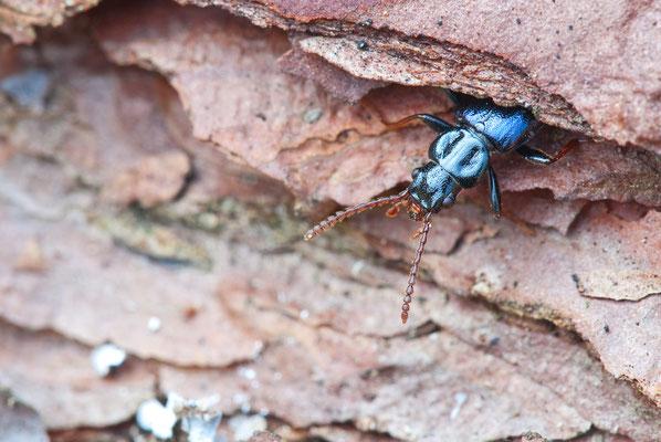 Blauer Drachenkäfer - Pytho depressus - dragon beetle - dead log bark beetles