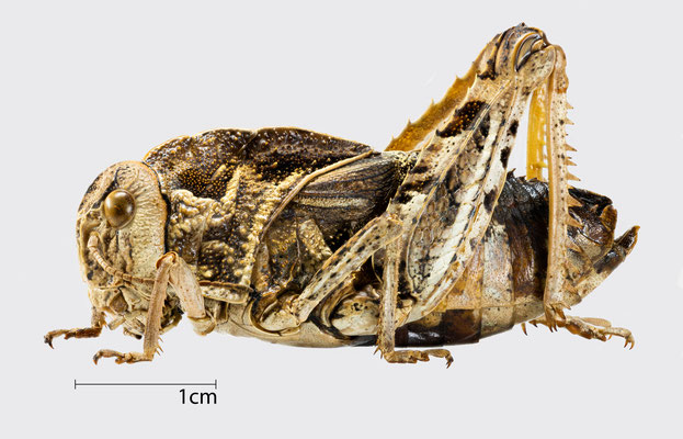 Prionotropis hystrix hysterix (Germar, 1817)   Gesägte Steinschrecke