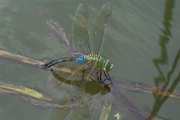 Anax imperator - Große Königslibelle - emperor dragonfly