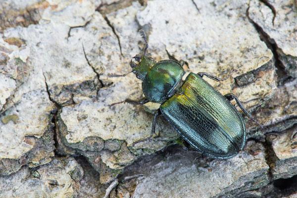 Kleiner Rehschröter - Platycerus caraboides - stag beetle