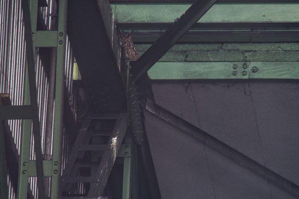 Uhu - Bubo bubo - Eurasian eagle-owl