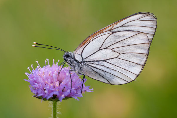 Baum-Weißling - Aporia crataegi - black-veined white