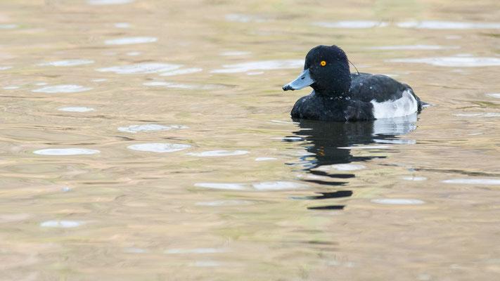 Reiherente - Aythya fuligula - Tufted duck