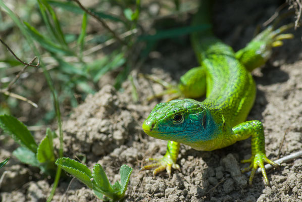 Westliche Smaragdeidechse - Lacerta bilineata - Western green lizard