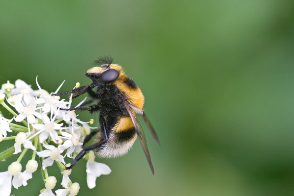 Hummel-Waldschwebfliege - Volucella bombylans