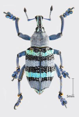 Eupholus schoenherri Guerin-Meneville, 1838   Rüsselkäfer aus Papua-Neuguinea