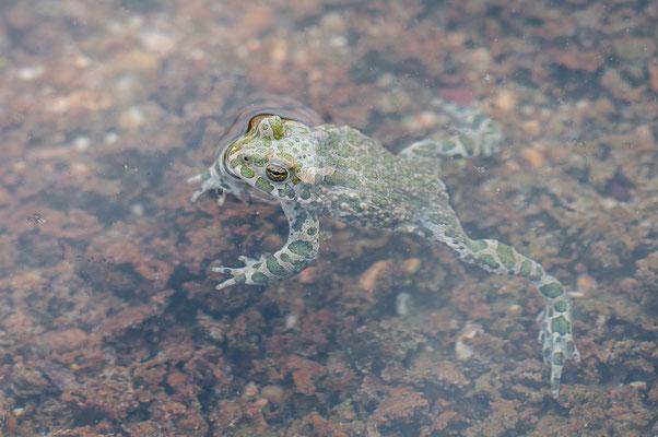 Wechselkröte - Bufotes viridis - European green toad