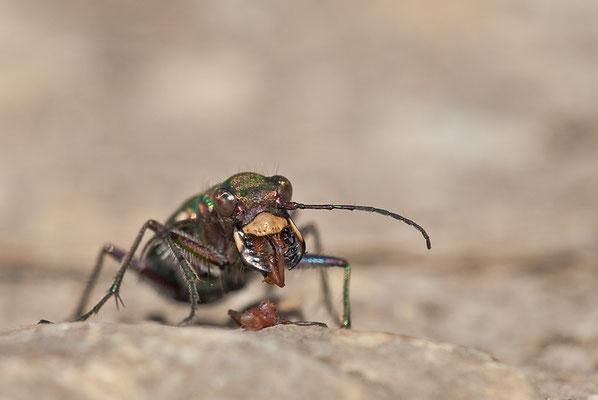 Feld-Sandlaufkäfer - Cicindela campestris - green tiger beetle