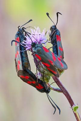Blutströpfchen - Zygaena filipendulae - six-spot burnet