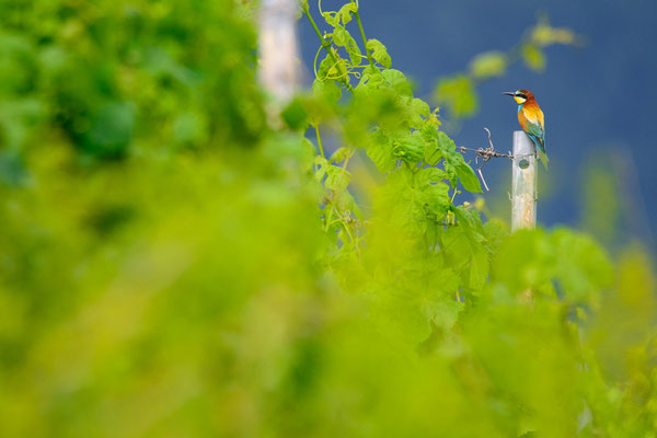 Bienenfresser - Merops apiaster - European bee-eater